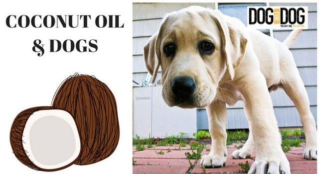 L`huile de coco est excellent pour les chiens. Consultez DOGSBUTTER par DOG pour CHIEN