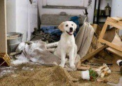 pourquoi utiliser une caisse de chien - un chiot laboratoire assis dans une pièce, il a détruit