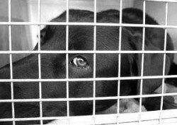 Est-il cruel de caisse un chien - Une tête de abs noir vu à travers un mur de caisse