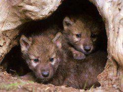 Est-il cruel de caisse un chien - 2 louveteaux furtivement de leur tanière