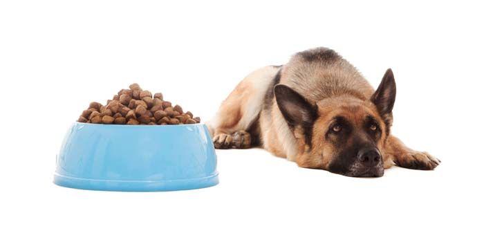 Pourquoi Wont My Dog Eat - Voici pourquoi les chiens peuvent refuser de manger