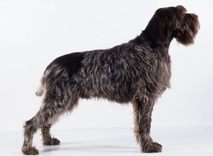 Wirehaired griffon