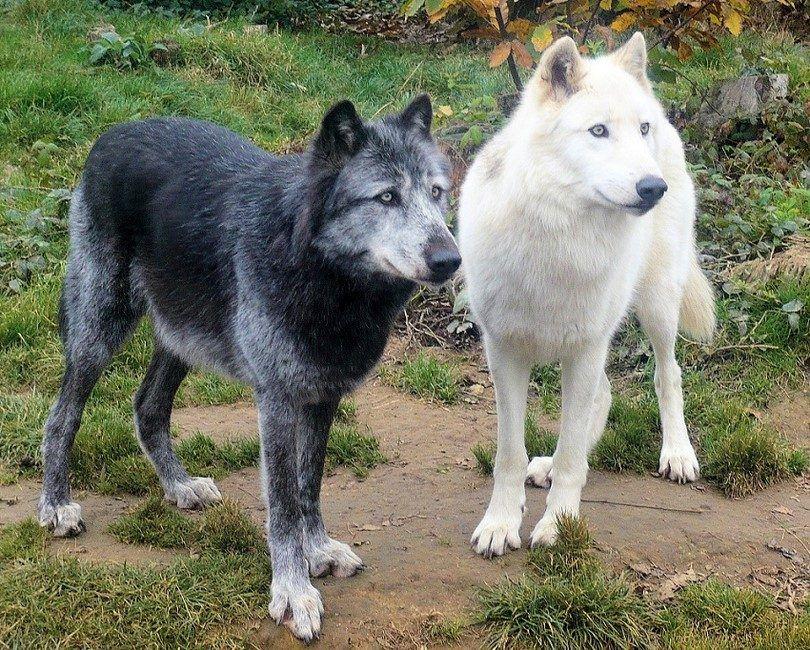 Tchécoslovaques chien loup