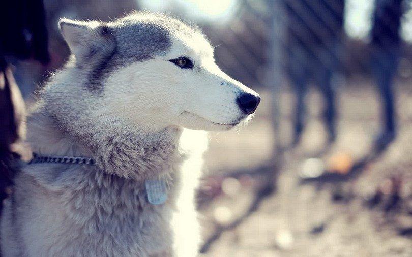 Belle Husky sibérien