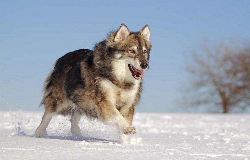 Le chien Utonagan comme loup