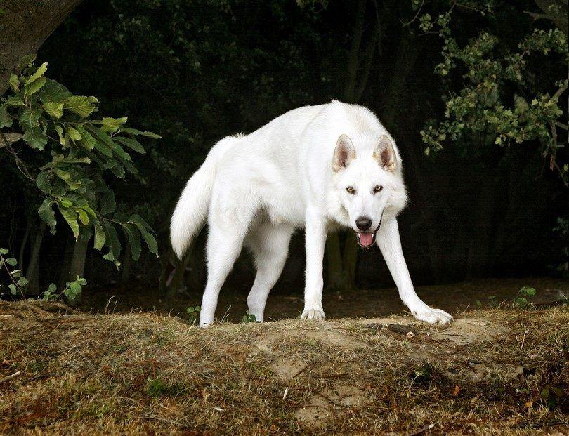 Le chien Inuit du Nord
