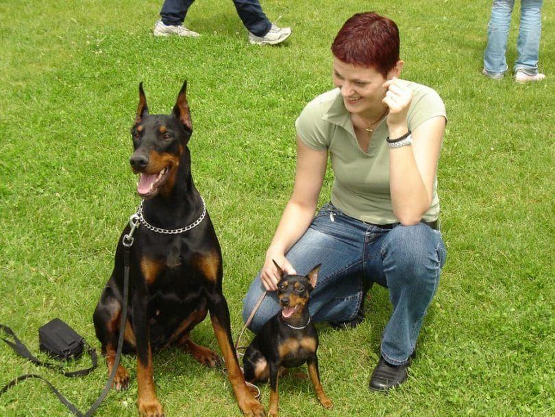Doberman Pinscher chien