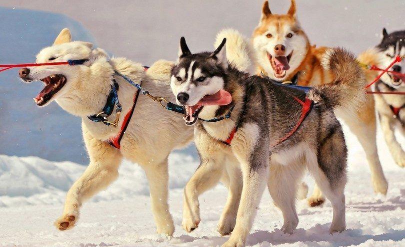 huskies sibériens travail