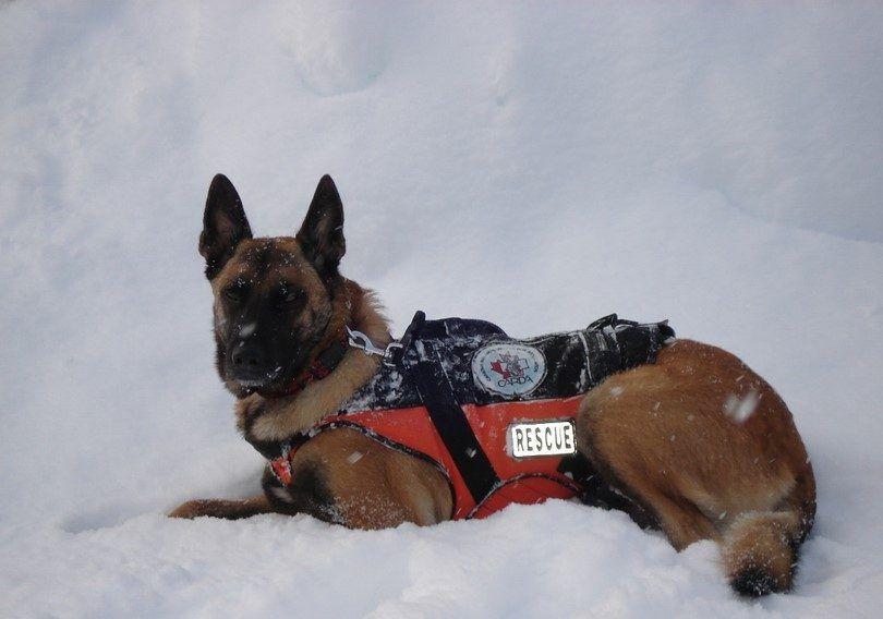 Recherche et sauvetage chien