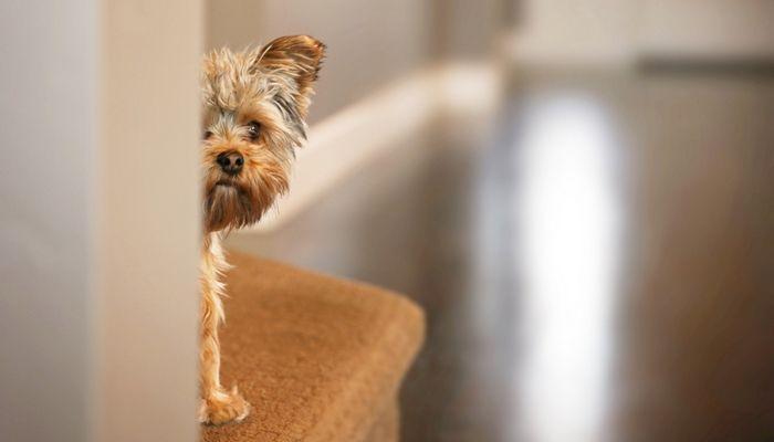 Souhaitez-vous donner à votre chien une ordonnance pour aider avec le bruit Sensibilité