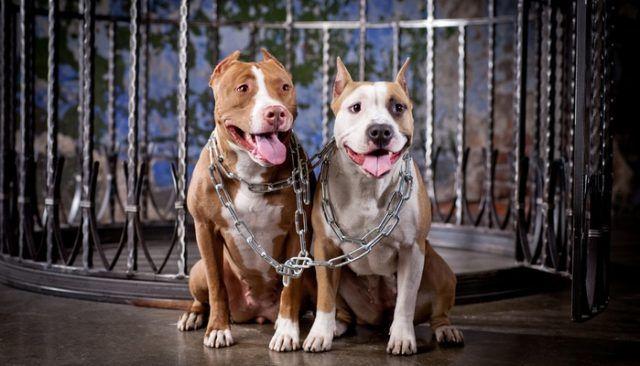 Vous ne devinerez jamais ce que ces pit-bulls ont fait pour éviter l`euthanasie